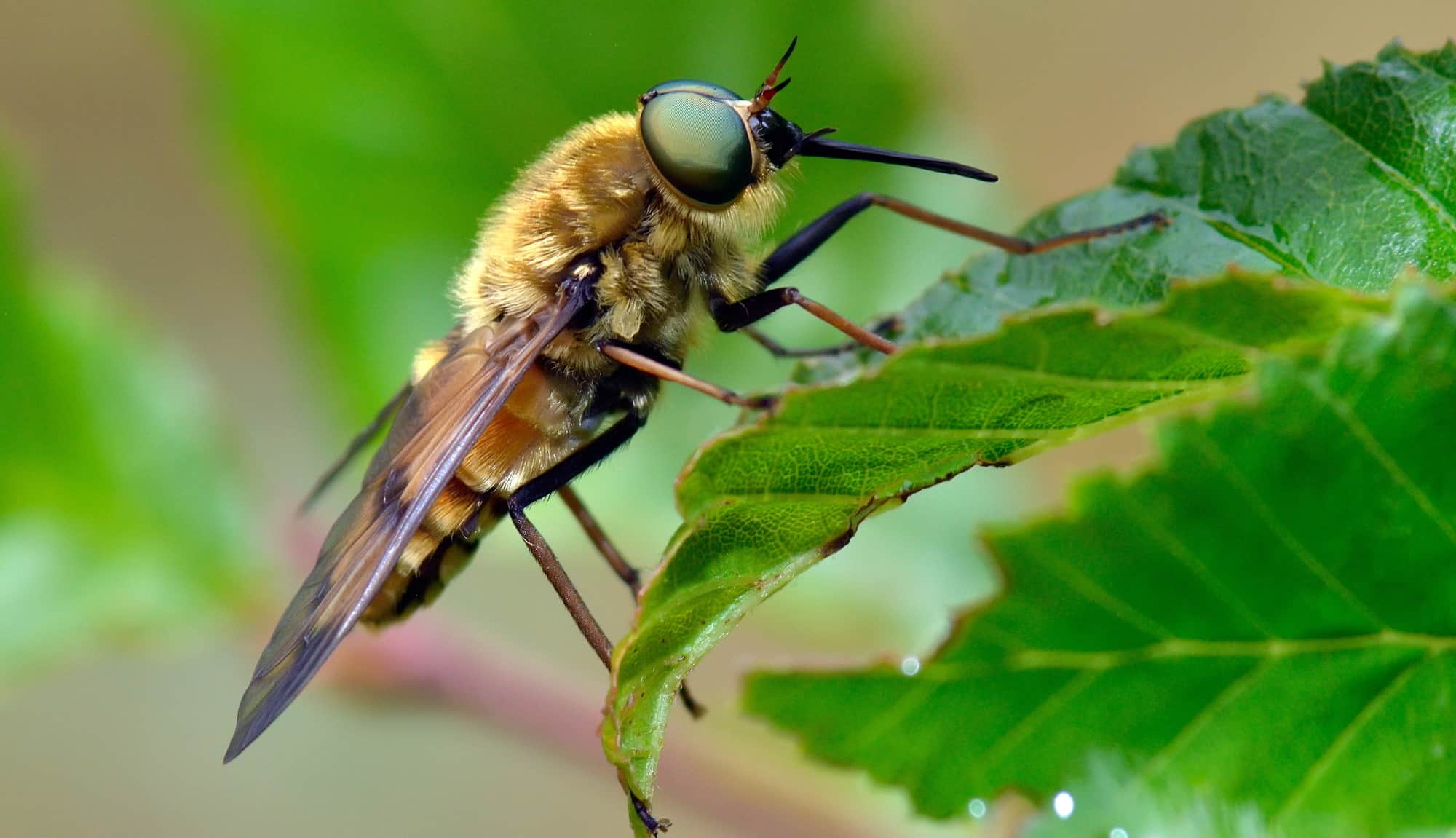 b**p | by young people for young people Horseflies leave a ...