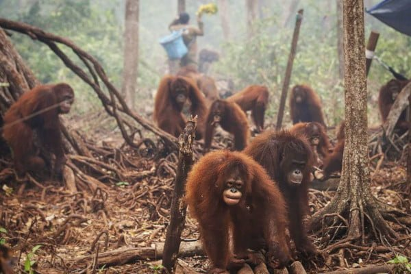 deforestation-the-truth-orangutans