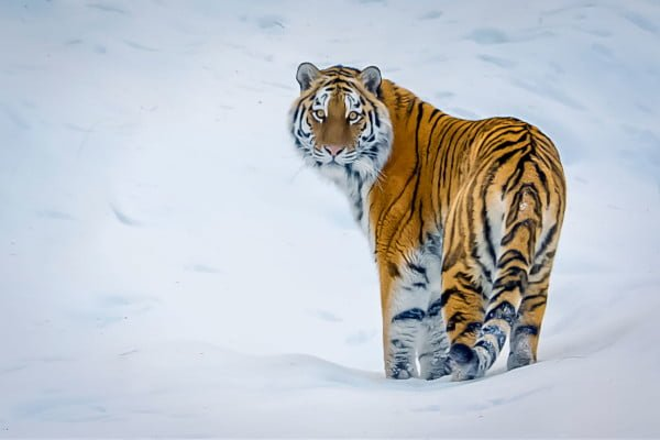 tv-review-our-planet-tiger