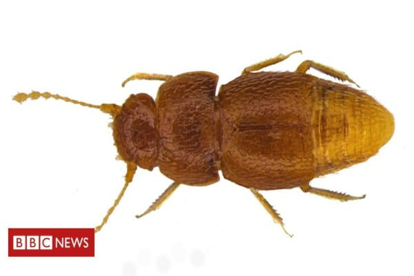 beetle-named-after-greta-thunberg-beetle
