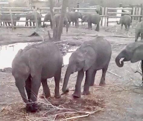 zimbabwe-droughts-raise-elephant-sales