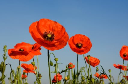 why-you-should-just-wear-a-red-poppy