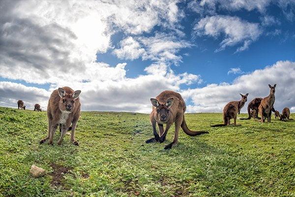 australia-kanga