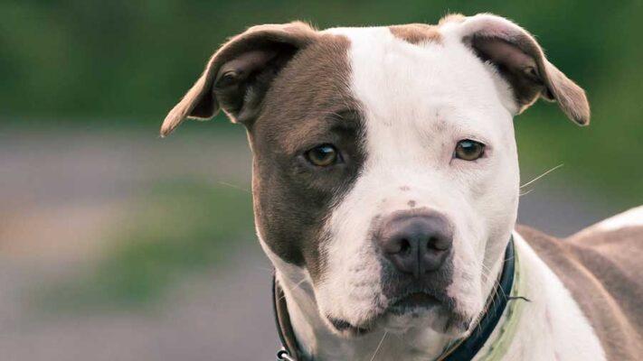 dogs-pitbull